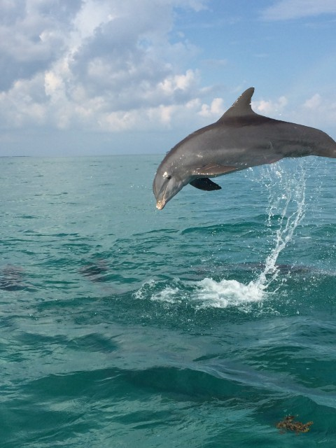 See Pictures Of Dolphins In Key West From Dolphin Safari