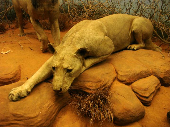 León de Tsavo