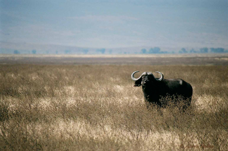 Búfalo en Ngorongoro. Tanzania.