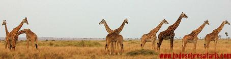 Jirafas masai en el Masai Mara. Kenya. Septiembre de 2007