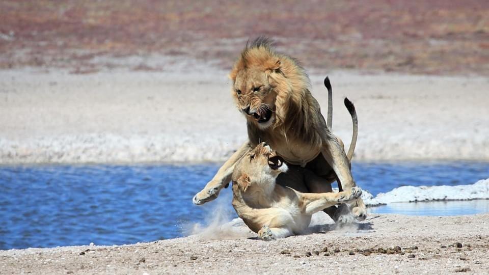Löwen Kampf