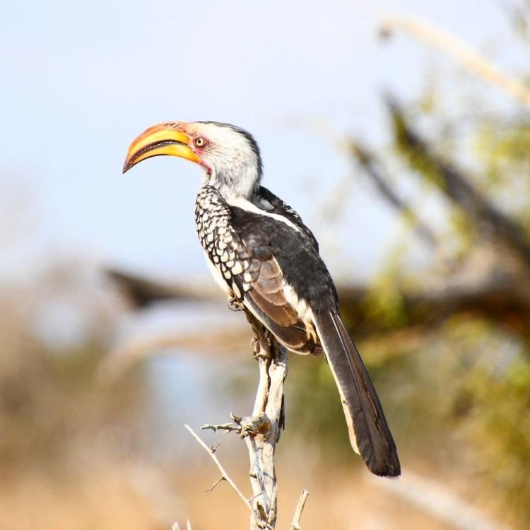 Hornbill @Hlane Royal National Park Eswatini aka Avitourism