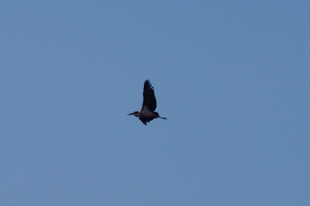Marabu Storch im Flug