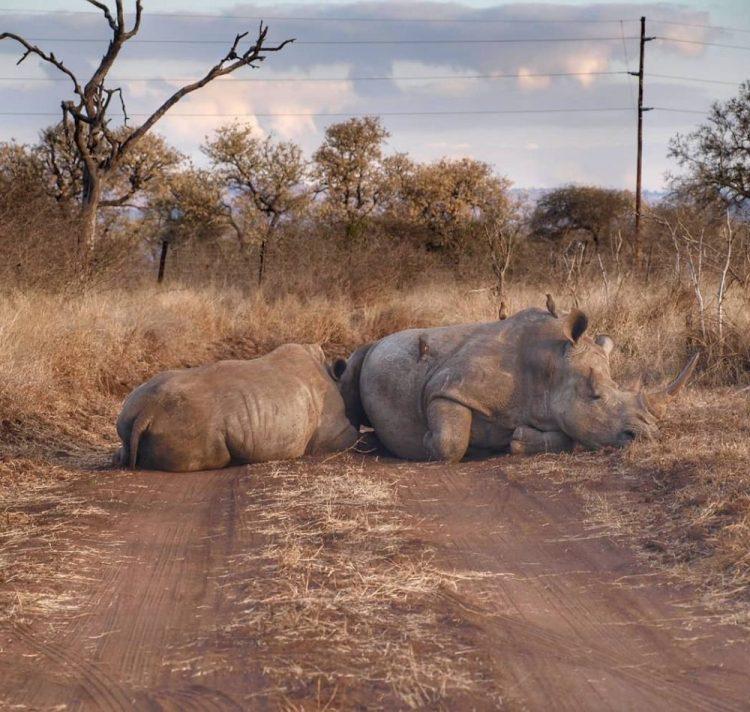 Hlane Rhino