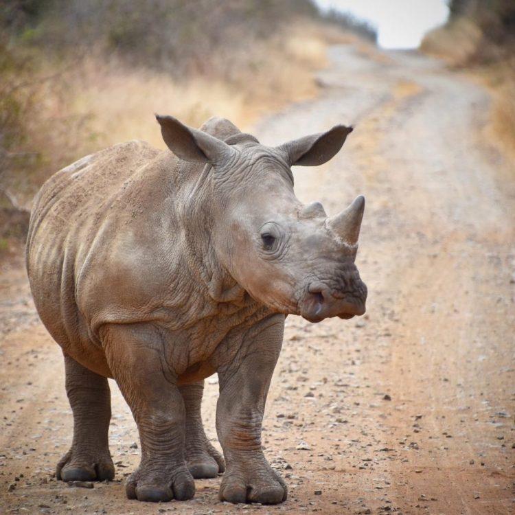Hlane Rhino2