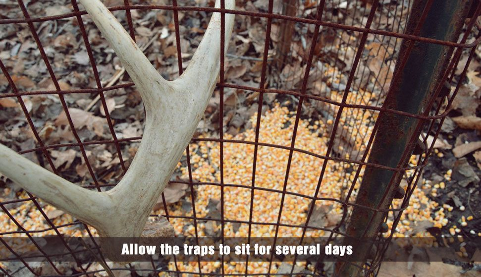 allow the traps to sit for several days