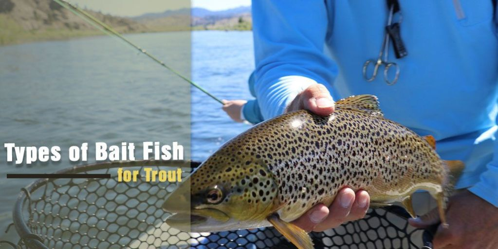 Types of Bait Fish for Trout: How to Use them Properly for Trout Fishing