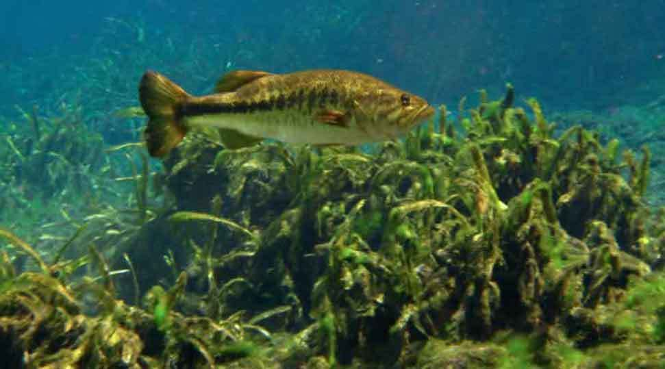 Bass in the Deep Water