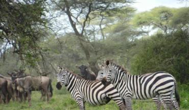 Serenget Zebras
