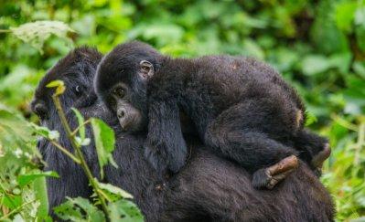 Gorilla Safaris to Uganda and Rwanda, Holidays to Kenya and Tanzania, flights, hotels, car rental, airline, check-in online, holidays, Nature Link Safaris Uganda