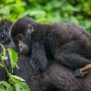 Gorilla Safaris to Uganda and Rwanda, Holidays to Kenya and Tanzania, flights, hotels, car rental, airline, check-in online, holidays, Nature Link Safaris Uganda