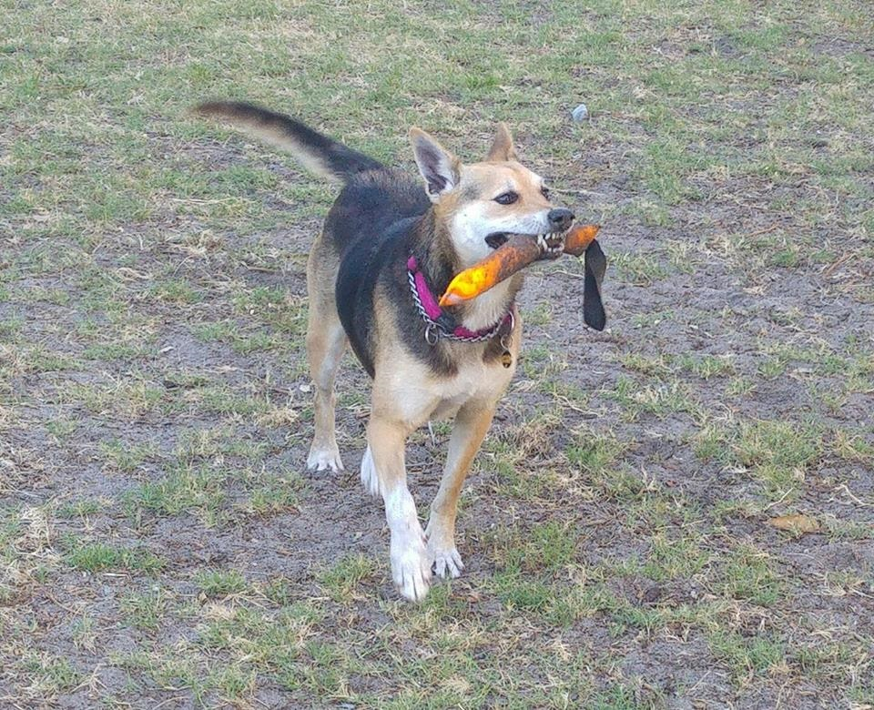 Shiloh with a toy stick