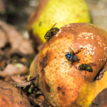 Keep bugs out of your house: flies on old fruit