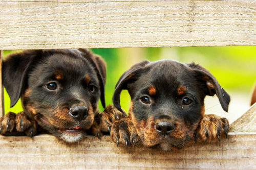 dogs-by-fence