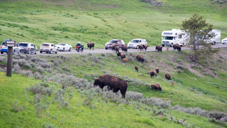 Die Bisons bestimmen das Tempo und stoppen regelmäßig den Verkehr