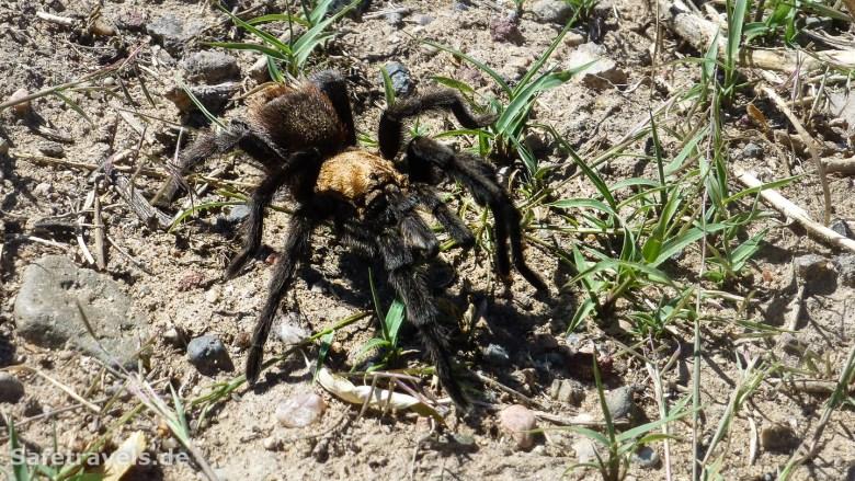 Mitten in New Mexico lief Tarantula über die Straße