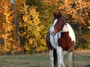 Image of Rain the brown and white horse standing in a field with fall leaves in the background