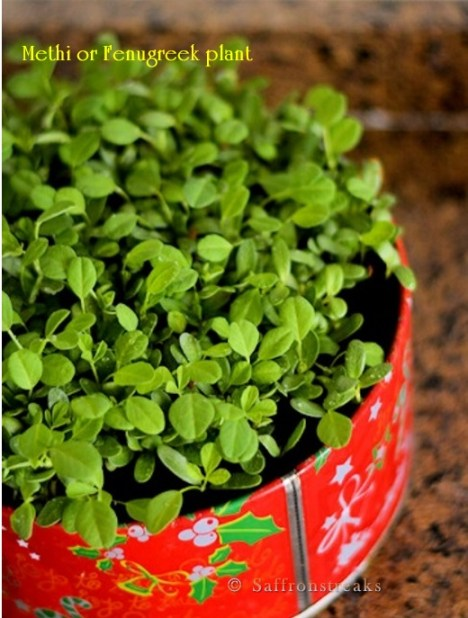 how to grow methi fenugreek