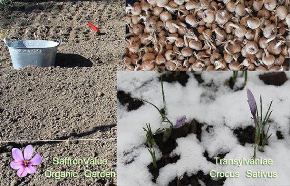 saffron bulbs transylvaniae