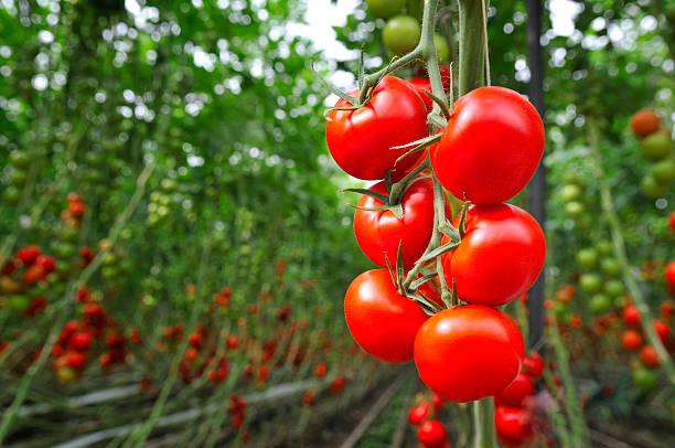 Tomatoes fertilizer