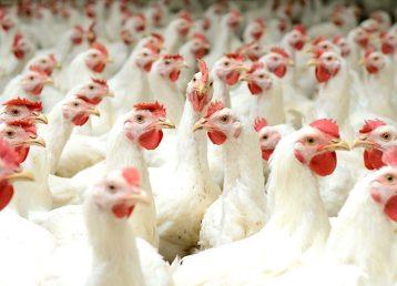 dioxido de cloro avicultura Avicultura Tratamiento Prevencion Enfermedades Dioxido de Cloro Safrax