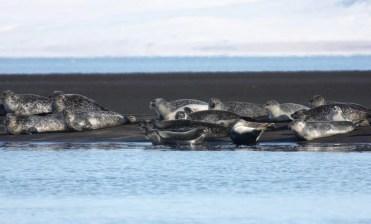 Seals at Vatnsnes Peninsula