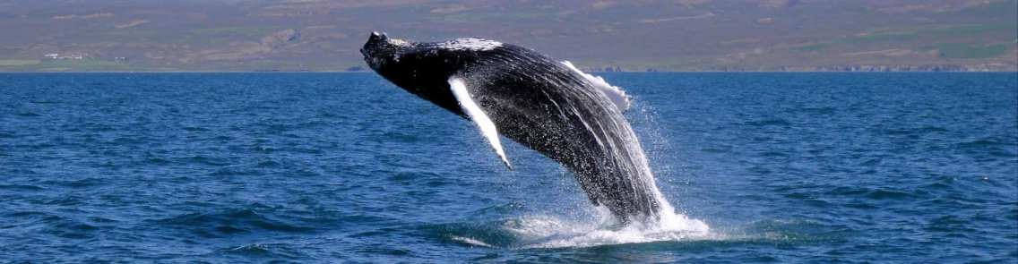 whale watching Iceland - banner