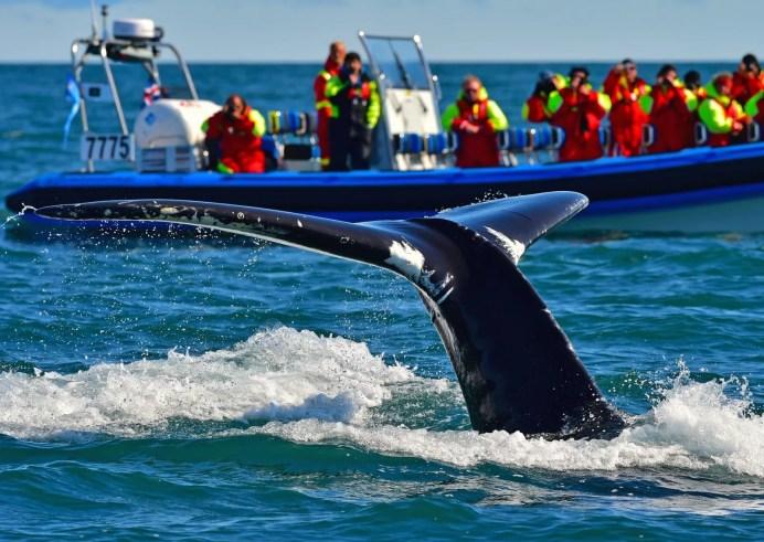 Big Whale Safari & Puffins – Húsavík, Iceland