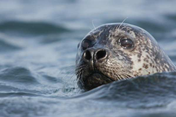 seal-in-north-iceland