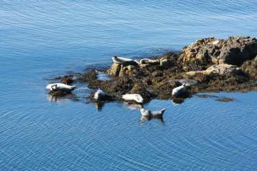 seals-in-vatnsnes-peninsula-north-iceland