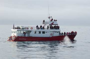 Whale Watching Iceland Humpback Blow Boat
