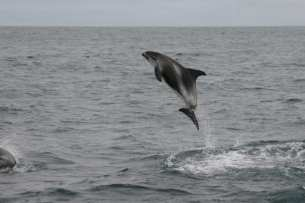 Whale Watching Iceland Breaching Dolphins