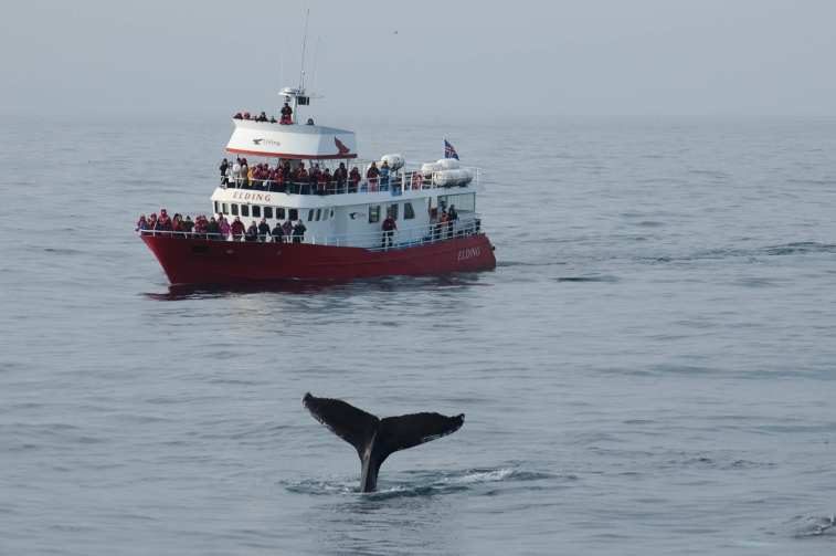 Whale Watching Iceland Humpback Tail