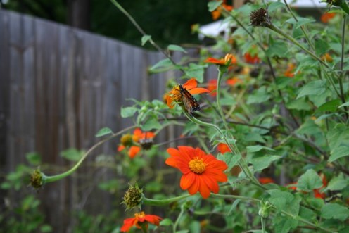 Mexican Sunflower - 01