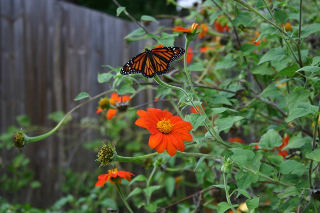 Looking Back- Mexican Sunflowers