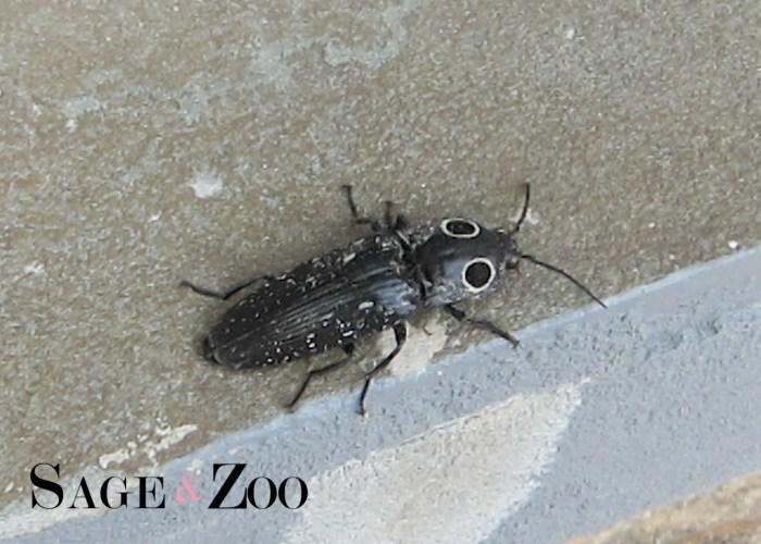 Eyed Elater Beetle