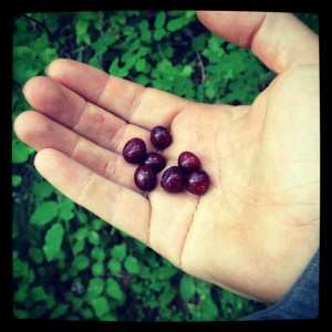 Picking huckleberries on the Bigfoot Trail was a great diversion