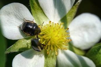 coléoptères fleur4 (1 sur 1)