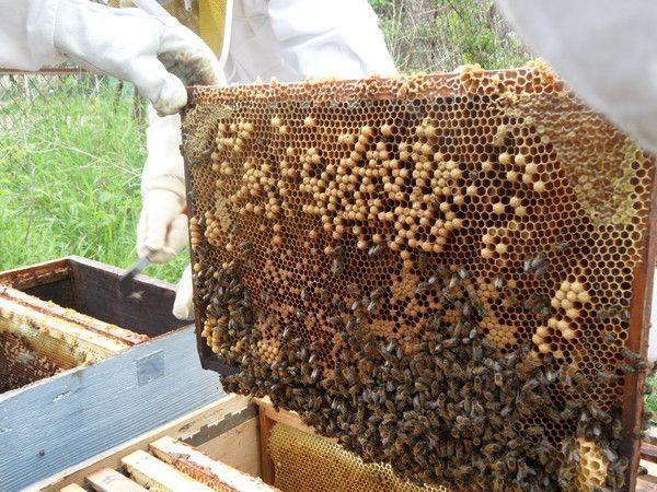 Transfert d'essaim dans une ruche (suite)