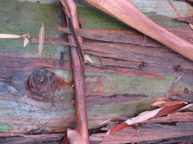 Close up of a eucalyptus