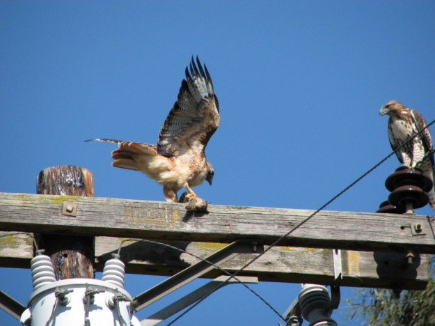 Red Tailed Hawks