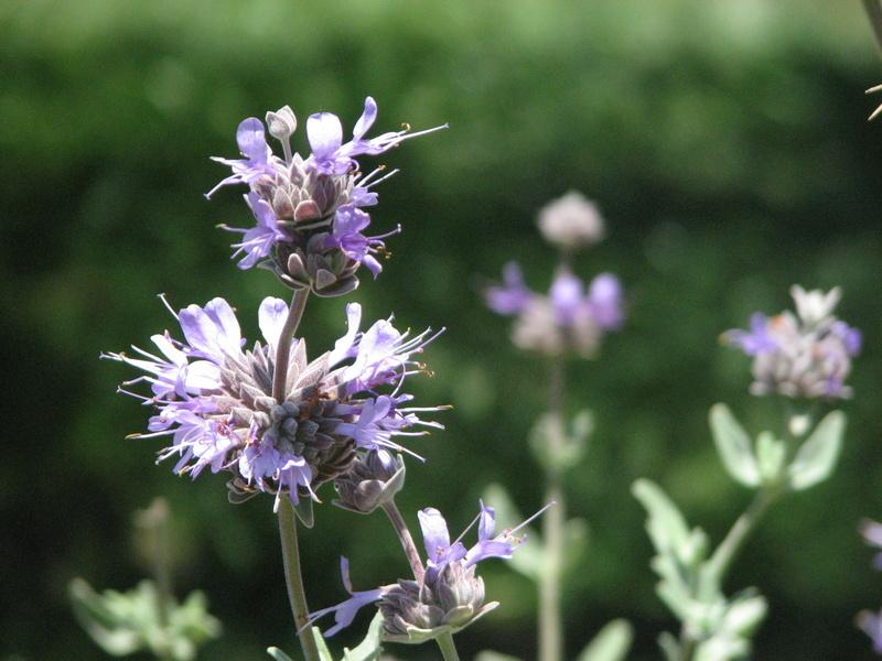 Photo of Salvia Clevelandii