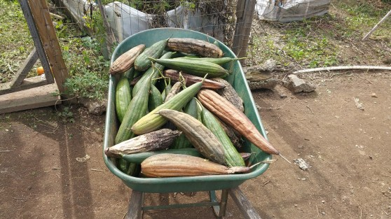 Luffas from just three plants filled a wheelbarrow!