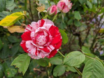 Peppermint Twist rose in bloom in the rose garden