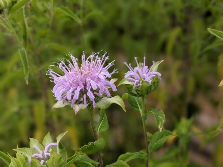 Monarda (Bergamot / Bee Balm) in bloom