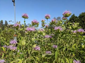 Tall, thin Monarda flower in bloom
