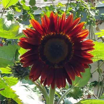 Moulin Rouge Red sunflower