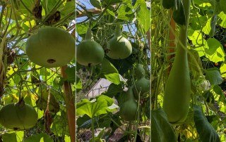 3 different types of gourds