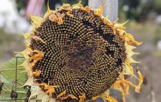 Suflower seeds in the golden ratio