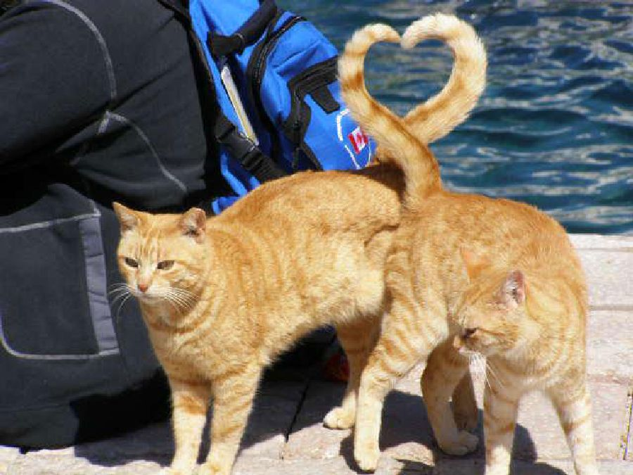 cats heart shape with tail perfect timing